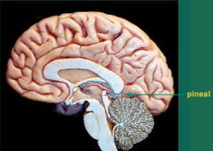 MJ 2012 Brain Pineal gland