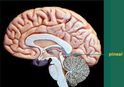 MJ 2012 Brain Pineal gland