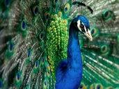 peacock-10
