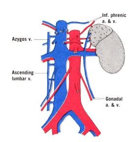 Renal-veins-2