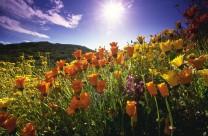 California Poppies and Gazanias