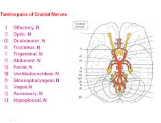 Twelve pairs of Cranial nerves